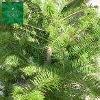 モミの木 H800前後