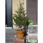 モミの木 H1400〜1600