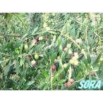 オリーブ ネバディロブランコ 樹高H:1800mm