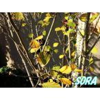 マンサク 単木 樹高H:1800mm