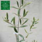 オリーブ ネバディロブランコ 樹高H:2500mm