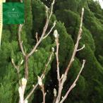 ハクモクレン 単木 樹高H:3000mm