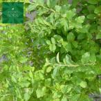 モクセイ科の常緑低木 生垣として人気の高い植木です。