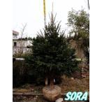 モミノキ 樹高 H:2500mm
