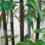 クロチク 株立 樹高 H:1500mm 3株