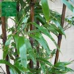クロチク 株立 樹高 H:2000mm 2株