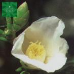 切花でも楽しめて茶花にも使えます。つばき・ツバキ・椿・