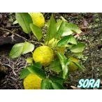 本柚子 H1600〜1800mm