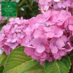 アジサイ ピンク系 15cmポット 5本 植木 苗
