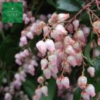 紅花アセビ H400〜600mm 鉢底より 植木 苗