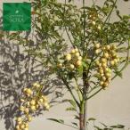 葉は赤飯などの飾りに!シロナンテン・なんてん・