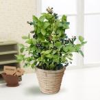 父の日 花 ギフト プレゼント 2020 鉢植え 「実付きブルーベリー 収穫が待ちどおしい」