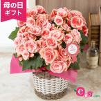 母の日 花 ギフト 鉢植え 大輪バラ咲きベゴニア ボリアス 5号鉢 プレゼント 2021