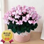 花 シクラメン ギフト 鉢植え 「シクラメン ウィンク シャワーレッド」 生花 フラワーギフト プレゼント