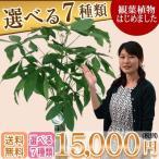 観葉植物15,000円(税別)開店祝・開院祝 インテリアに