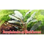 ブセファランドラsp ブラックカレント bucephalandra.sp BlackCurrent