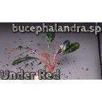 ブセファランドラsp アンダーレッド bucephalandra.sp Under Red