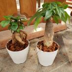 かわいすぎ!開運セット ガジュマル、パキラミニ 観葉植物 送料無料