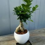 観葉植物 幸福 ガジュマル 陶器 インテリア 卓上