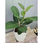 フィカス・ベンガレンシス7寸プラスチック 観葉植物