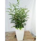 観葉植物 シルクジャスミン 6寸 プラスチック インテリア
