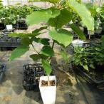 観葉植物 フィカス ウンベラータ 6寸 インテリア 人気