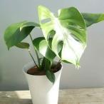 観葉植物 送料無料 おまけがついてくる観葉植物 モンステラ 金運 風水 インテリア 人気 プレゼント オフィス