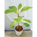観葉植物 送料無料 おまけがついてくる 人気のフィカス・アルテシマ5寸 観葉植物 インテリア オフィス プレゼント きれい