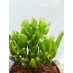 観葉植物 おまけがついてくる 多肉植物 ゴーラム 宇宙の木 観葉植物 送料無料 かわいい 面白い 珍しい 卓上 インテリア プレゼント