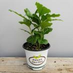 観葉植物 送料無料 コーヒーの木 ポスト投函 インテリア プレゼント