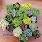 観葉植物 送料無料 お任せセダム&多肉植物 10個セット 寄せ植え エケベリア かわいい