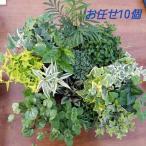 観葉植物 送料無料 お任せ観葉植物 10個セット 寄せ植え ドルフィンネックレス アロマティカス アイビー かわいい
