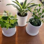 Yahoo!観葉植物のエコグリーンジャパン店福袋 お得 送料無料 観葉植物 セット アイビー ヘデラ ドラセナ シルクジャスミン