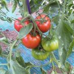 【9度以上!高糖度で甘酸っぱい】【北海道産】フルーツトマト3S(39玉)