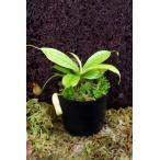 ネペンテス・ミラ(Nepenthes mira) Palawan DJN136
