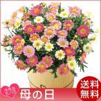 母の日 2018 花 マーガレット鉢植え いちごみるく 5号鉢 プレゼント 限定3600個 送料無料
