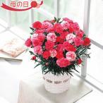 母の日 花 カーネーション鉢植え さくらもなか 5号鉢 数量限定品 送料無料