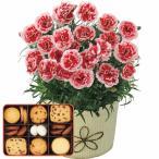 母の日 カーネーション鉢植え「いちごホイップ」 4号とコフレボヌール クッキー詰め合わせ 花 スイーツ 洋菓子 メッセージカード付 送料無料
