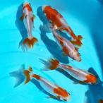 金魚 更紗和金 S 5匹 約5cm〜8cm前後