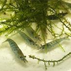 ミナミヌマエビ100匹 【水槽内でも殖える!水槽内のコケにも効果的】 エビ 飼育用・餌用にも!