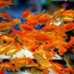 金魚 小赤 エサ用金魚 餌金 50匹 エサ 餌