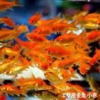金魚 小赤 エサ用金魚 餌金 30匹 エサ 餌