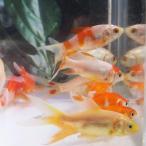 金魚 コメットMix 3匹 S 5cm〜7cm前後 国産