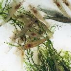 【数量限定】ミナミヌマエビ 100匹 【水槽内でも殖える!水槽内のコケにも効果的】 エビ 飼育用・餌用にも!