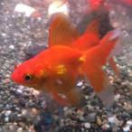 金魚 琉金 素赤 3匹 Sサイズ 約3cm〜約5cm 国産