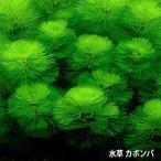 水草 カボンバ<10本>メダカ 金魚藻 アクアリウム  ゆうパケ送料無料