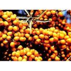 果樹の苗/シーベリー(沙棘・サジー):フルガナ(メス木)3〜3.5号ポット