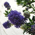 花木 庭木の苗/セアノサス:青花6号鉢植え
