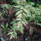 花木 庭木の苗/西洋イワナンテン(岩南天):レインボー3.5号ポット