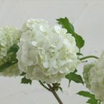 花木 庭木の苗/ビバーナム(西洋カンボク):スノーボール樹高60〜80cm根巻きまたはポット入り